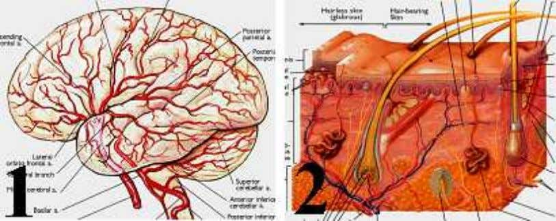 all other views, to follow the second and seventh bases. Figure-10: (1) Brain. (2) Skin. The