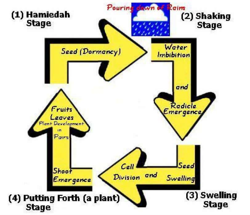 noticeable sign of germination, i.e. radicle emergence. Figure-13: Plant Life Cycle (as depicted in Holy Quran,