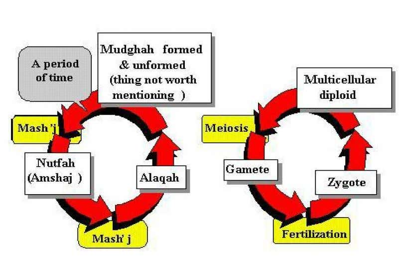 "gamete, ""Nutfah"" or ""Nutfah Amshaj"" , is produced. (A) Holy Quran (B) Scientific Facts Figure-17: HUMAN"