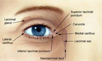 the eye): Points of attachment for upper and lower eyelids. 4. Eyelashes : Strong hairs that