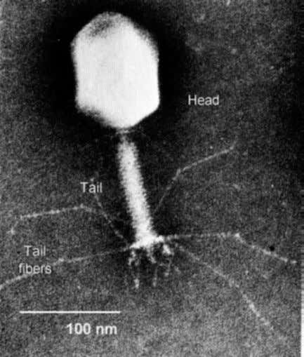 DNA contains genes Alfred Hershey (1908 – 1997) Bacteriophage T4