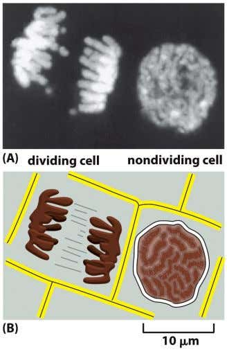 DNA and proteins. Become visible ( can see with a light microscope ) as cells prepare