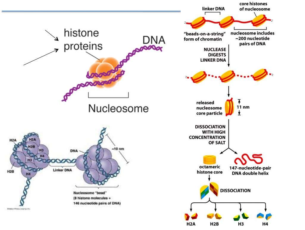 The Nucleosome Contain lots of lysines and arginines (+) Have long N-terminal tails that are highly