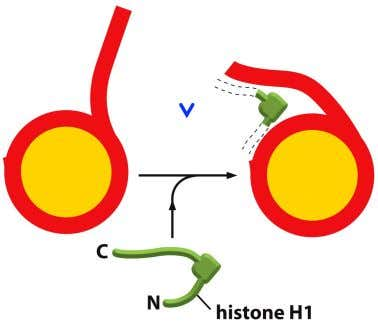 Chromatin packing has multiple levels A linker histone that helps pull nucleosomes together to form the