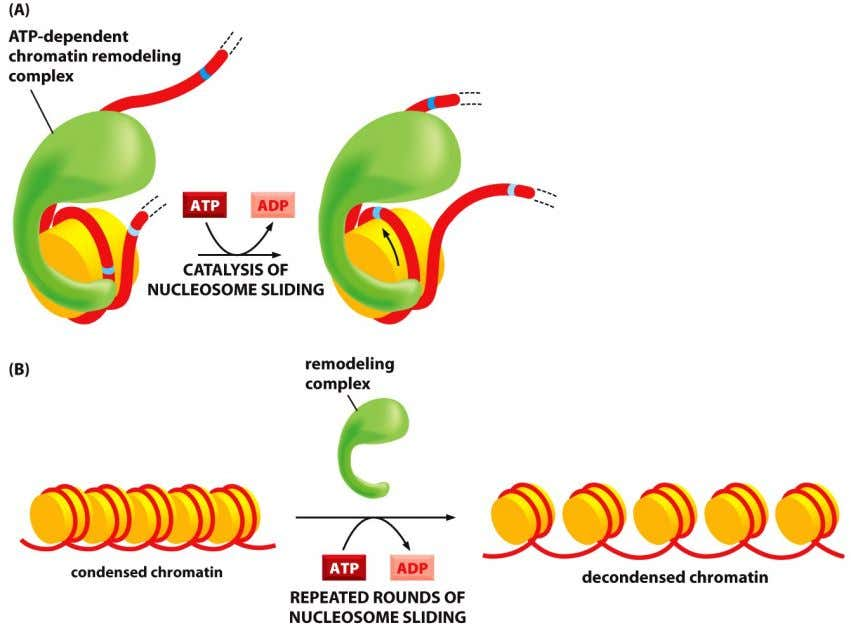 are needed to adjust the structure of chromatin rapidly •   Needed for both replication and