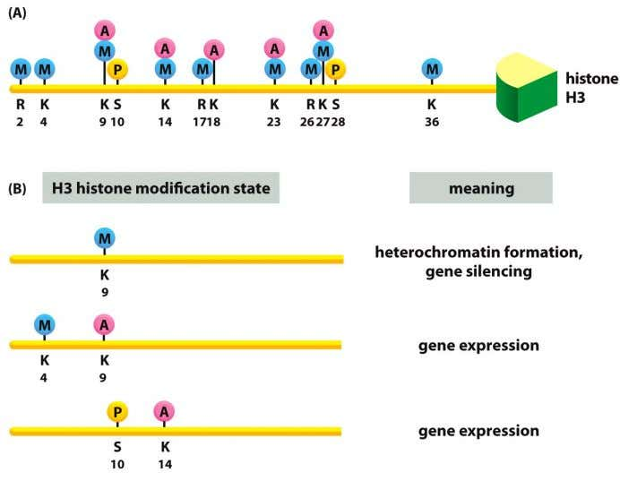 ( histone code ) •   These modifications function, in part, by recruiting other chromatin-remodeling complexes.