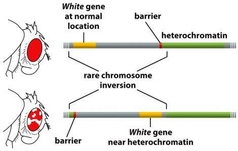 •   There are heterochromatin-specific proteins Heterochromatin can spread to coding regions and ""