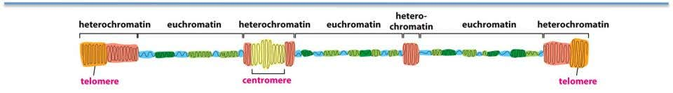 contain both condensed and more extended chromatin •   Euchromatin—more extended, higher gene