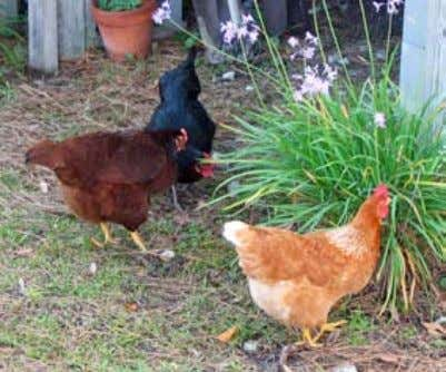 Keeping in North Carolina Contents Do Your Homework First 3 The Fun Begins: Selecting Your Chickens