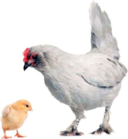 breeds that should do well in a backyard garden flock. When You Bring Home Your New