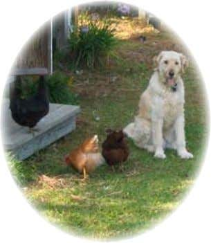 Keeping Garden Chickens in North Carolina Flock Health Well-trained dogs can offer protection from predators. (Growers