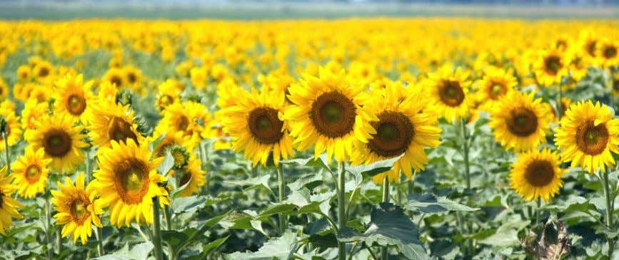 Sunflower fields Global Market - Sunflower is one of the most important oilseed crops in the