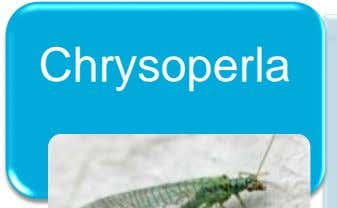 Chrysoperla