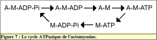 Figure 7 : Le cycle ATPasique de l'actomyosine.