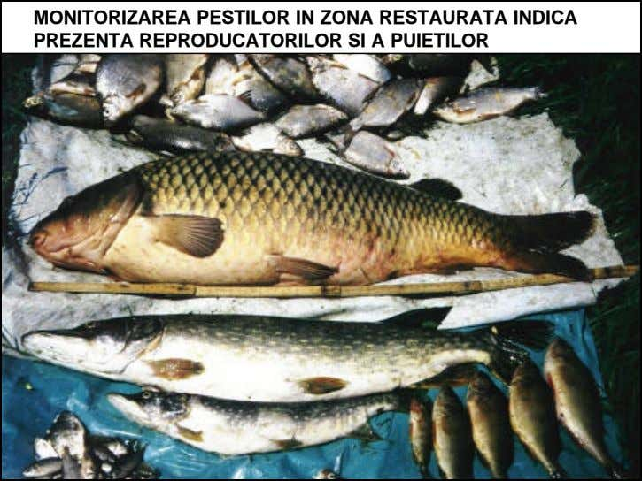 MONITORIZAREAMONITORIZAREA PESTILORPESTILOR ININ ZONAZONA RESTAURATARESTAURATA INDICAINDICA PREZENTAPREZENTA