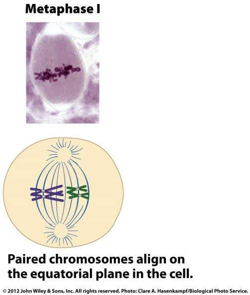 Metaphase I  Paired chromosomes are oriented toward opposite poles  Terminalization: chiasmata move toward telomeres