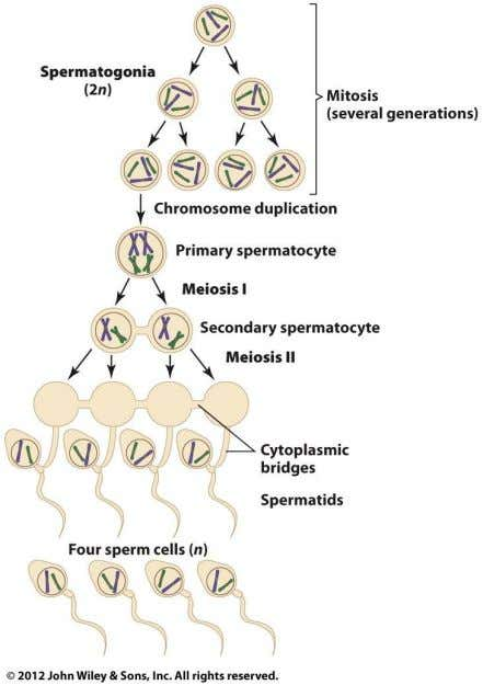 Spermatogenesis in Mammals © John Wiley & Sons, Inc.
