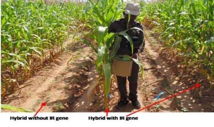 weed infests more than 9 million ha planted to millet, maize, and sorghum in Nigeria and