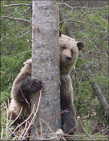 from the October 2008 issue of ArcWatch e- magazine) A grizzly bear hugs a tree in