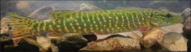 use of GIS and GPS to improve the likelihood of success. Northern pike. Photographs courtesy of
