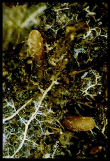 The tree gains efficiency with mycorrhizae in several ways. A block of frozen soil several inches