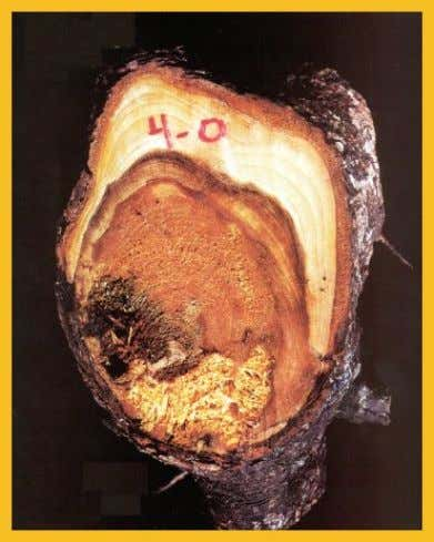 Rots, Predisposition and Poor Sorauer By Dr. Alex L. Shigo This red spruce root (Picea rubens)