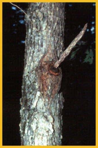 On species of birch and maple (shown here), canker rot fungi produce hard masses of