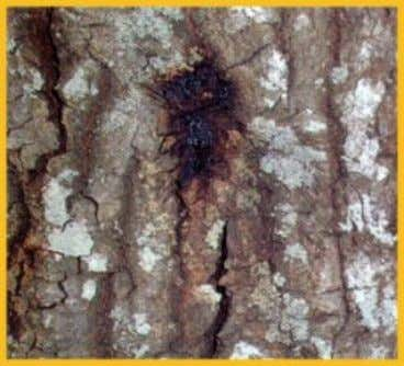 after long periods of predisposition followed by infections. Oozing brown sap is a symptom of the
