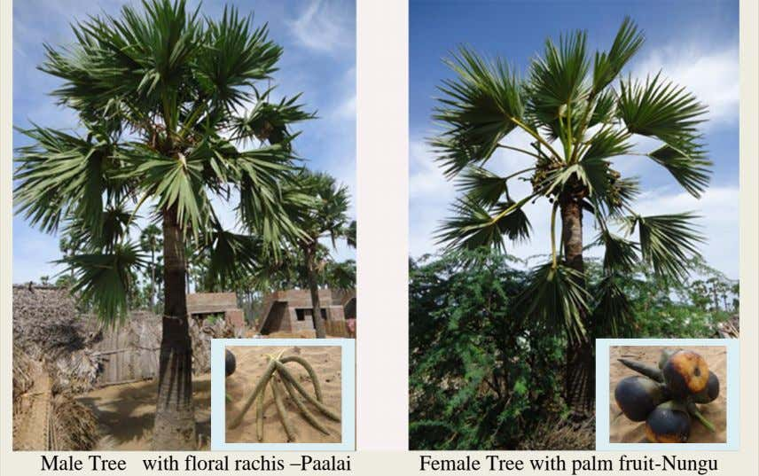 Male Tree with floral rachis –Paalai Female Tree with palm fruit-Nungu