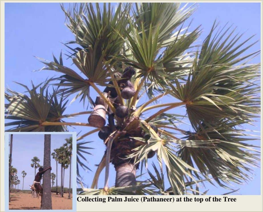 Collecting Palm Juice (Pathaneer) at the top of the Tree