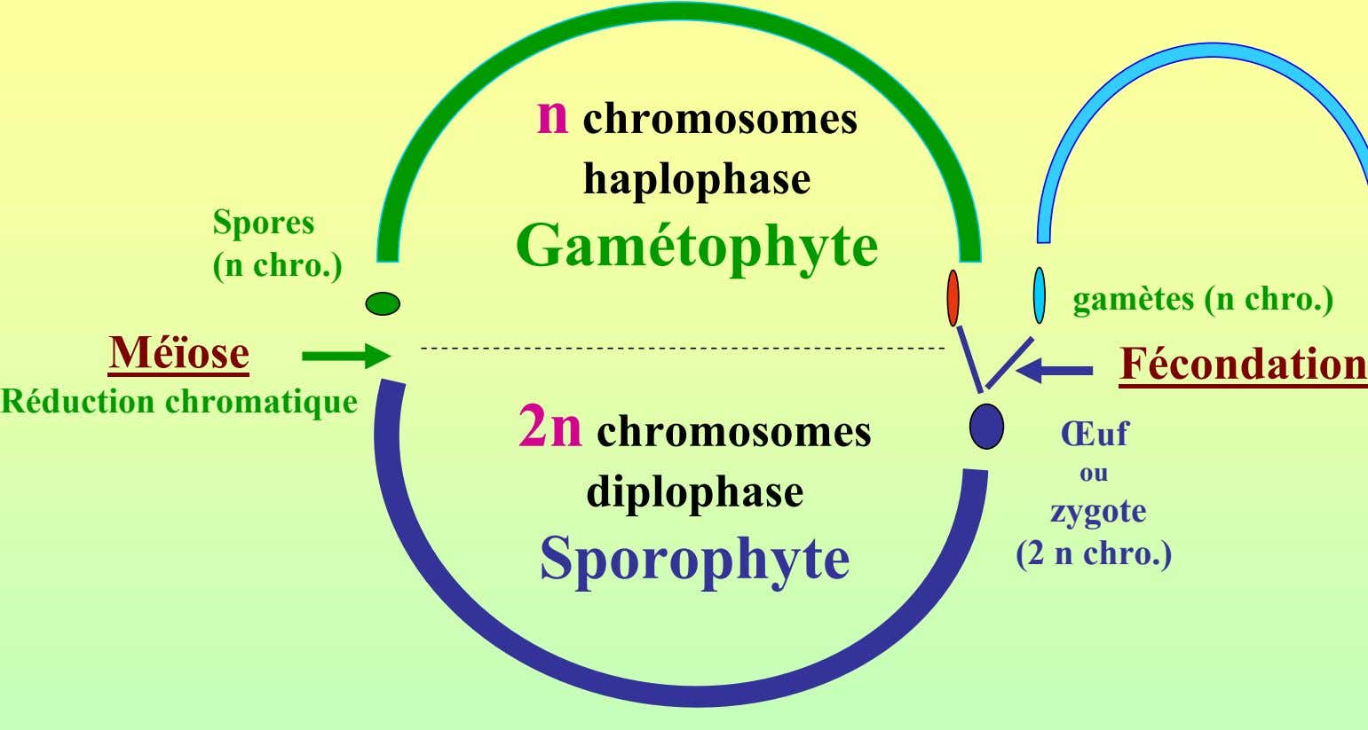 n chromosomes haplophase Spores Gamétophyte (n chro.) gamètes (n chro.) Méïose Fécondation Réduction