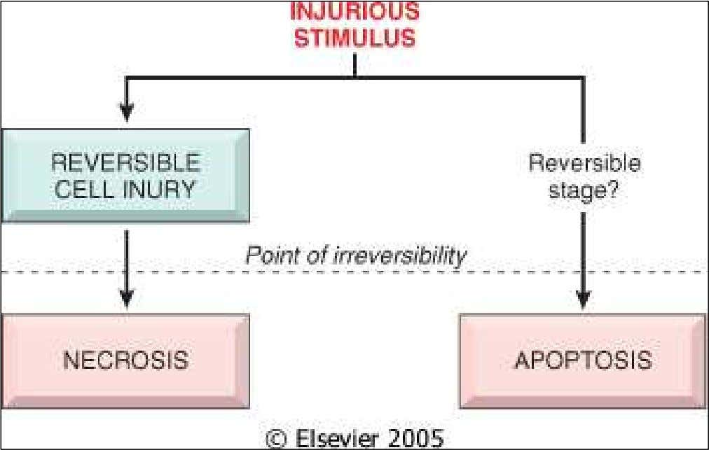 Figure 1-7 Stages in the evolution of cell injury and death. Downloaded from: Robbins &