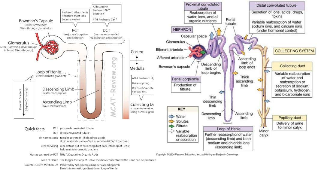 Outline the role of the hormones aldosterone and ADH in the regulation of water and