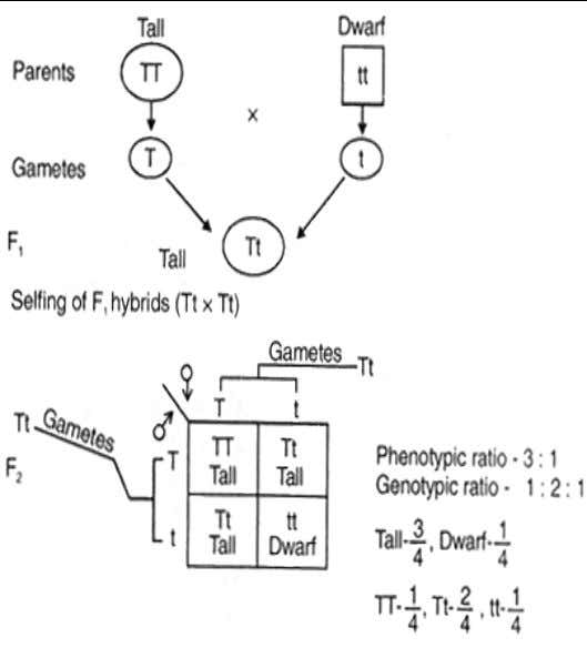 Outcomes of monohybrid crosses using Mendel's explanation Monohybrid offspring are created when pure breeding parents