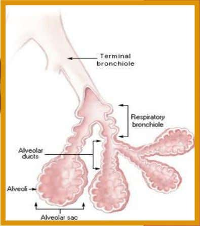 bronchi  bronchioles  alveoli 3. Trachea is supported by cartilage to prevent it from collapse