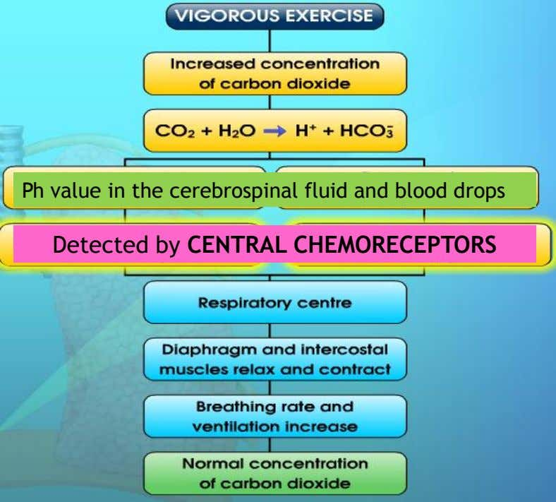 Ph value in the cerebrospinal fluid and blood drops Detected by CENTRAL CHEMORECEPTORS