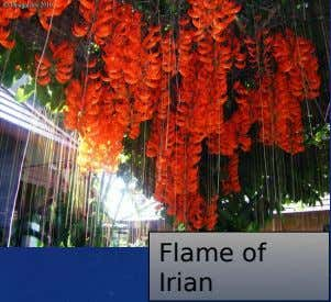 Flame of Irian