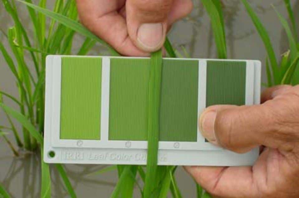 N application should be based on a critical LCC value of 4. Leaf color chart Don't