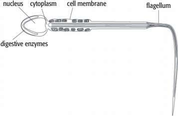 nucleus cytoplasm cell membrane flagellum digestive enzymes