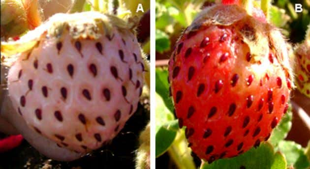 A. Salvatierra et al. / Phytochemistry 90 (2013) 25–36 29 Fig. 4. Phenotype of agroinfiltrated fruits.