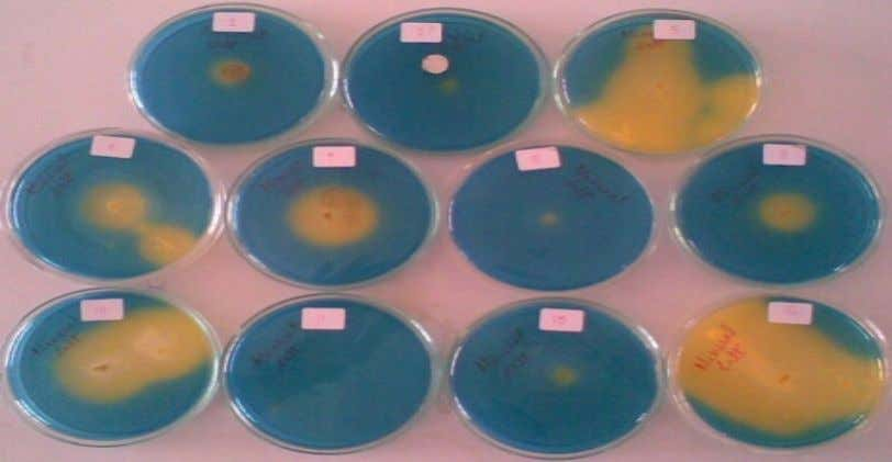 of fungal cultures on potato dextrose agar plates Figure.3 Production of organic acid on modified mineral