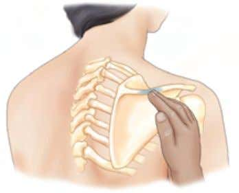 Extremity Section 1: Shoulder Girdle A Posterolateral view B Posterolateral view Acromion process and spine of