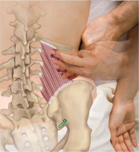 an affiliate of Elsevier, Inc. Quadratus Lumborum (QL) B A Palpation Key: Lateral to the erector