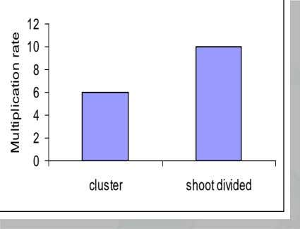 12 10 8 6 4 2 0 cluster shoot divided Multiplication rate