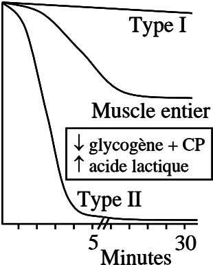 Type I Type I Type I Muscle entier Muscle entier Muscle entier   