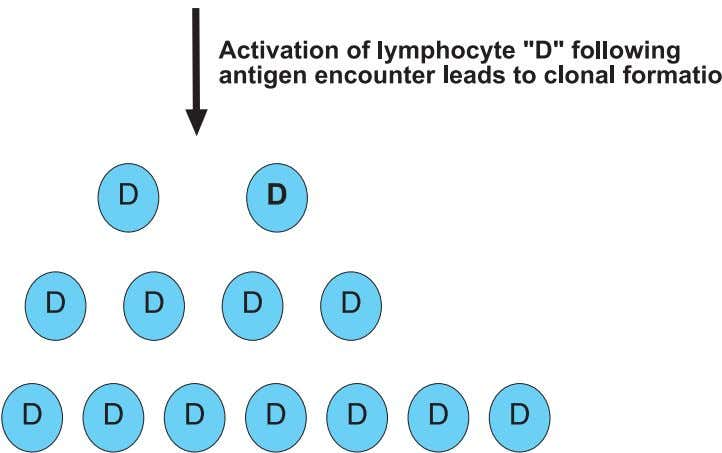 8 Clinical Immunology 1 Fig. 1.3. Activation of a lymphocyte leads to clonal formation. Specific lymphocytes