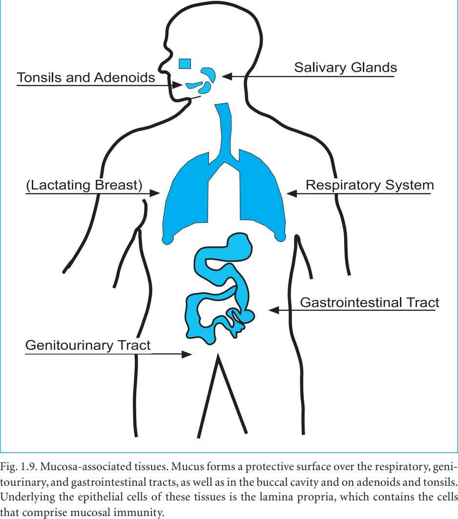 Fig. 1.9. Mucosa-associated tissues. Mucus forms a protective surface over the respiratory, geni- tourinary, and