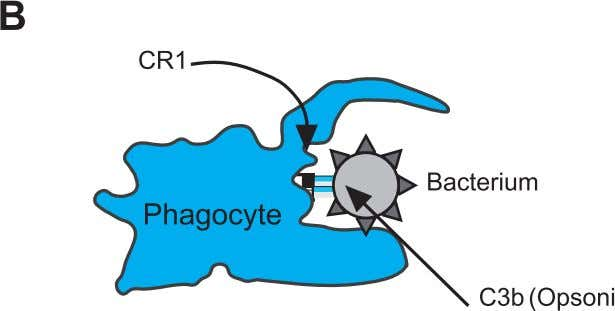 2 Clinical Immunology 36 Fig. 2.3. Recognition of a pathogen by phagocytes. Recognition of pathogens by