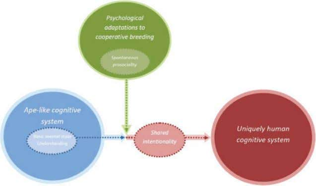 Cooperative Breeding and Human Cognitive Evolution 177 Figure 1. The role of cooperative breeding in the
