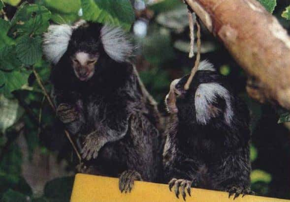 180 Burkart et al. ARTICLES Figure 3. Common marmosets ( Callithrix jacchus ). A sexually mature
